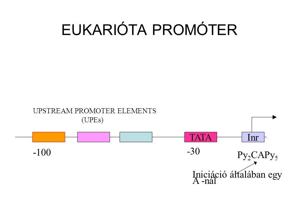 EUKARIÓTA PROMÓTER TATAInr Py 2 CAPy 5 -30 -100 UPSTREAM PROMOTER ELEMENTS (UPEs) Iniciáció általában egy A -nál