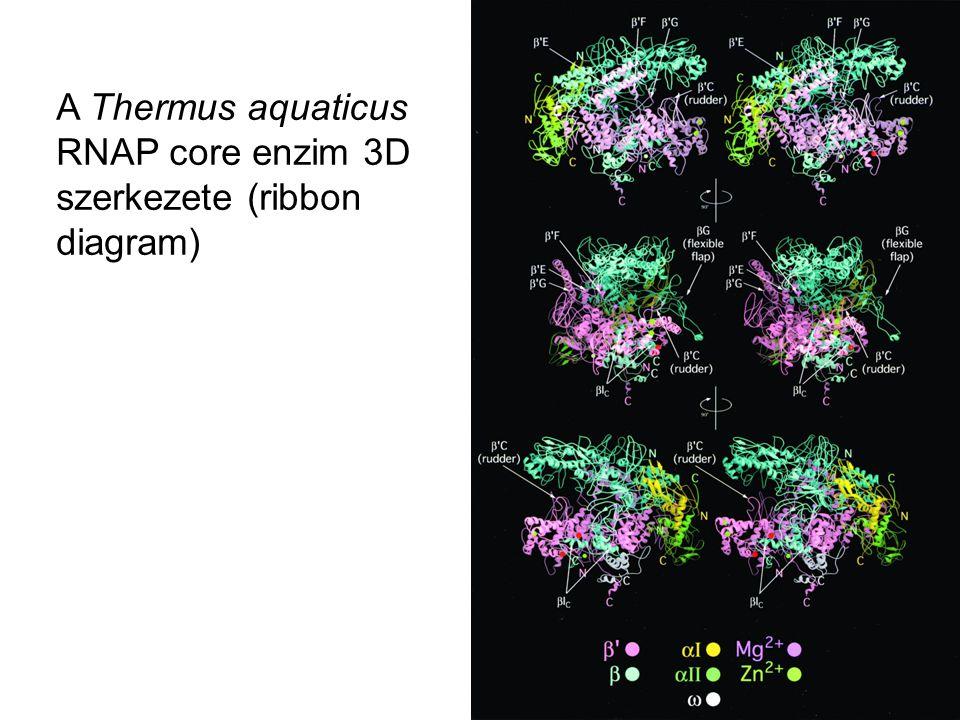 A Thermus aquaticus RNAP core enzim 3D szerkezete (ribbon diagram)