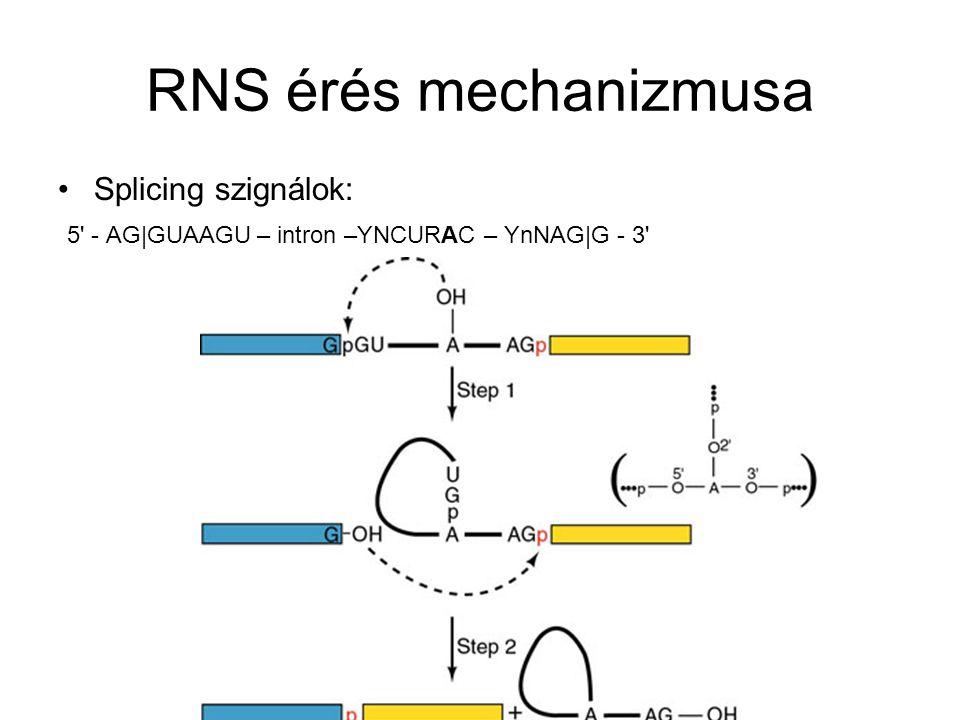 RNS érés mechanizmusa Splicing szignálok: 5' - AG|GUAAGU – intron –YNCURAC – YnNAG|G - 3'