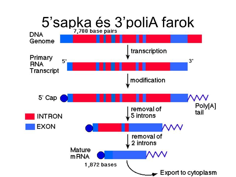 5'sapka és 3'poliA farok