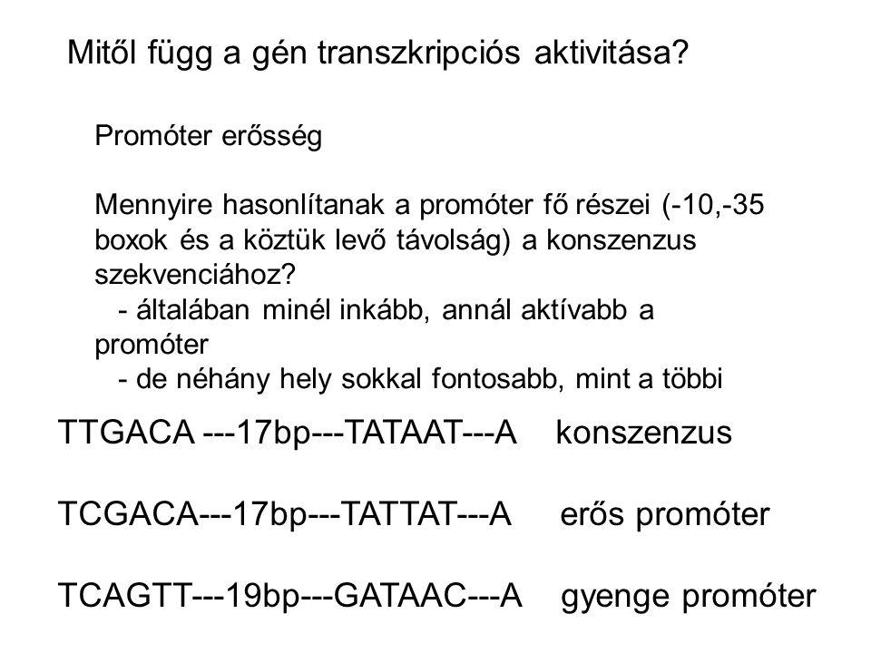 Mitől függ a gén transzkripciós aktivitása? Promóter erősség Mennyire hasonlítanak a promóter fő részei (-10,-35 boxok és a köztük levő távolság) a ko