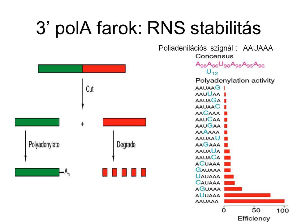 3' polA farok: RNS stabilitás Poliadenilációs szignál : AAUAAA