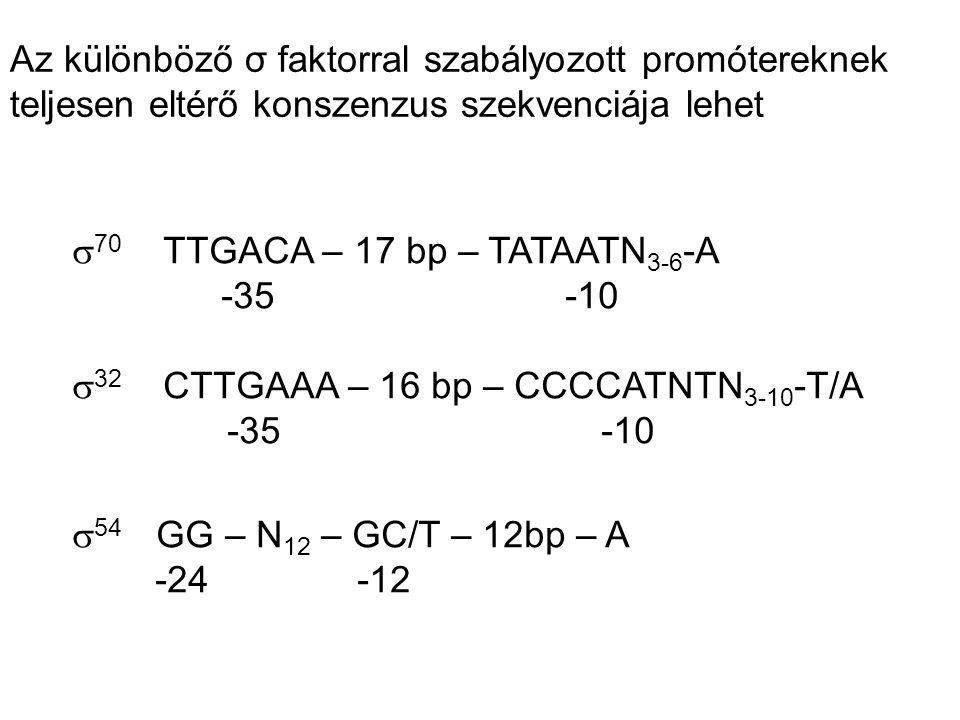 Az különböző σ faktorral szabályozott promótereknek teljesen eltérő konszenzus szekvenciája lehet  70 TTGACA – 17 bp – TATAATN 3-6 -A 