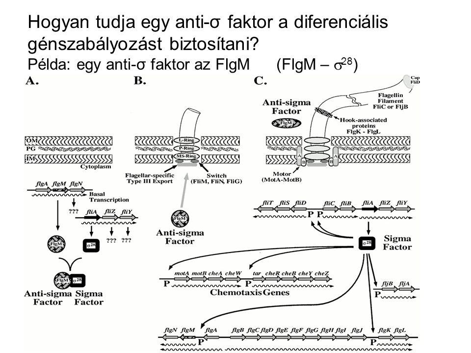 Hogyan tudja egy anti-σ faktor a diferenciális génszabályozást biztosítani? Példa: egy anti-σ faktor az FlgM (FlgM –  28 )