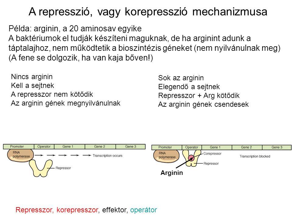 Példa: arginin, a 20 aminosav egyike A baktériumok el tudják készíteni maguknak, de ha arginint adunk a táptalajhoz, nem működtetik a bioszintézis gén
