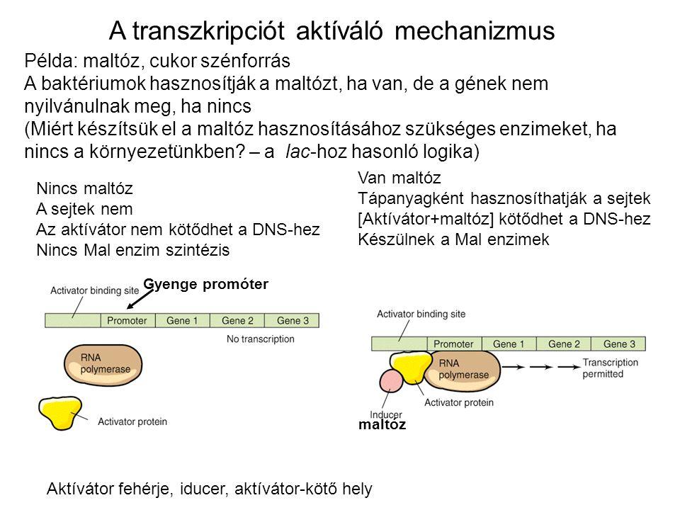 Példa: maltóz, cukor szénforrás A baktériumok hasznosítják a maltózt, ha van, de a gének nem nyilvánulnak meg, ha nincs (Miért készítsük el a maltóz h