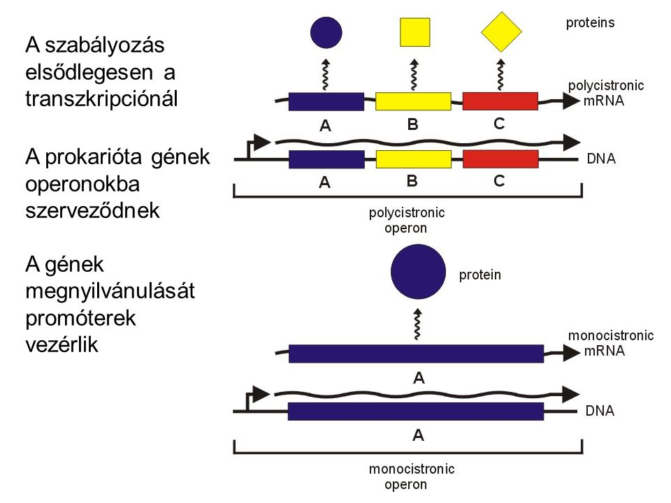 A szabályozás elsődlegesen a transzkripciónál A prokarióta gének operonokba szerveződnek A gének megnyilvánulását promóterek vezérlik