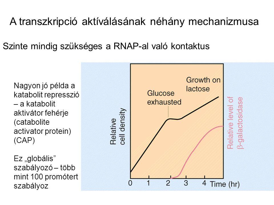 A transzkripció aktíválásának néhány mechanizmusa Szinte mindig szükséges a RNAP-al való kontaktus Nagyon jó példa a katabolit represszió – a kataboli