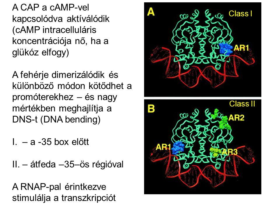 A CAP a cAMP-vel kapcsolódva aktíválódik (cAMP intracelluláris koncentrációja nő, ha a glükóz elfogy) A fehérje dimerizálódik és különböző módon kötőd