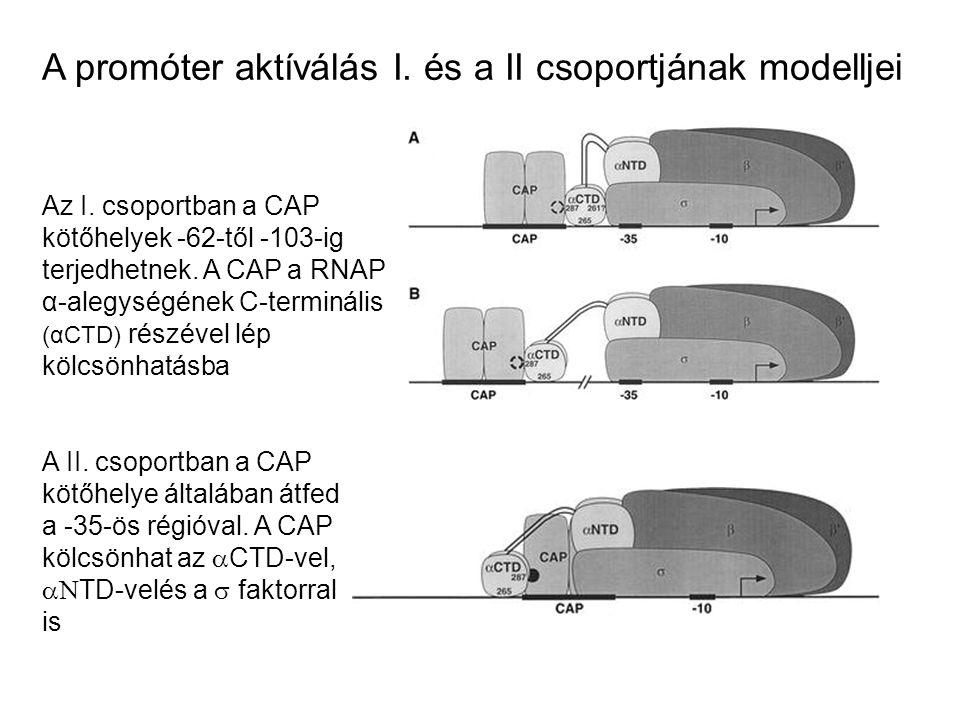 A promóter aktíválás I. és a II csoportjának modelljei Az I. csoportban a CAP kötőhelyek -62-től -103-ig terjedhetnek. A CAP a RNAP α-alegységének C-t