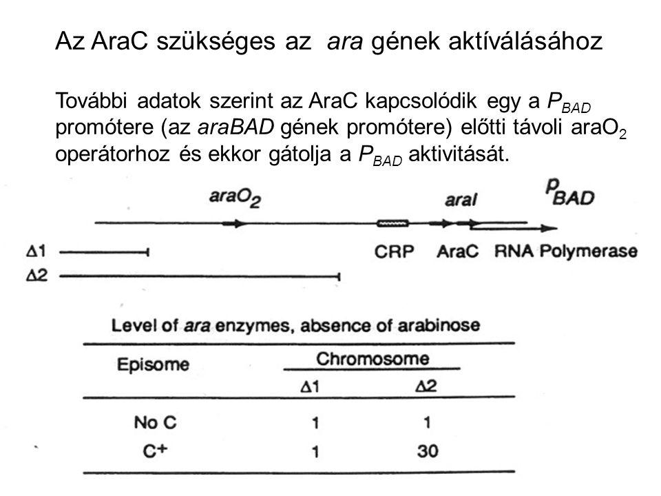 Az AraC szükséges az ara gének aktíválásához További adatok szerint az AraC kapcsolódik egy a P BAD promótere (az araBAD gének promótere) előtti távol