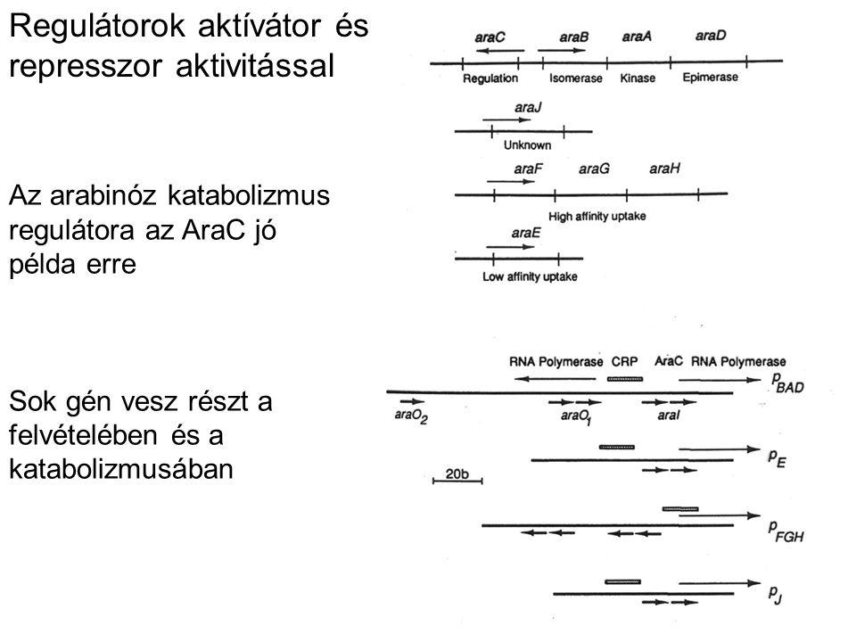 Regulátorok aktívátor és represszor aktivitással Az arabinóz katabolizmus regulátora az AraC jó példa erre Sok gén vesz részt a felvételében és a kata