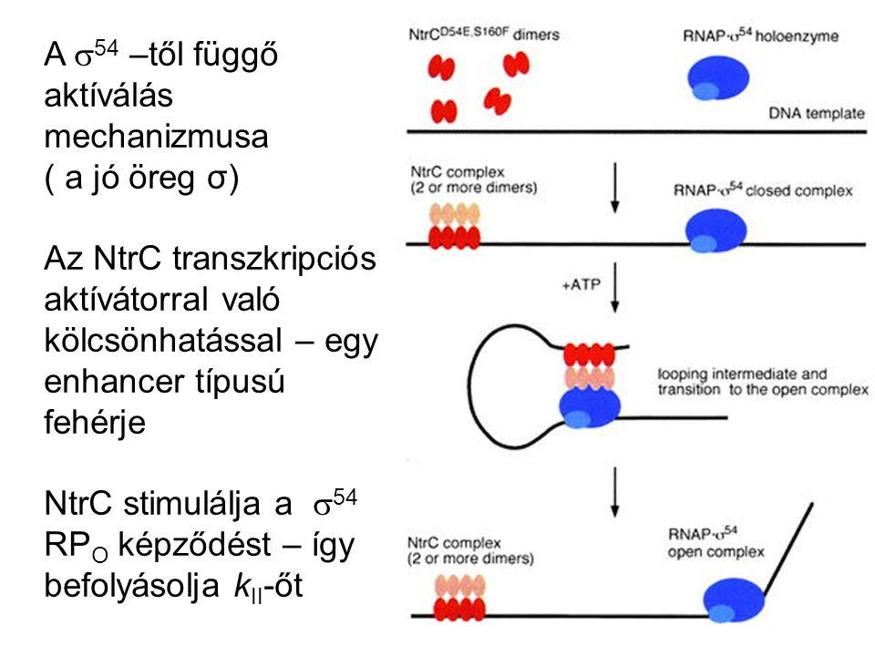A  54 –től függő aktíválás mechanizmusa ( a jó öreg σ) Az NtrC transzkripciós aktívátorral való kölcsönhatással – egy enhancer típusú fehérje NtrC st
