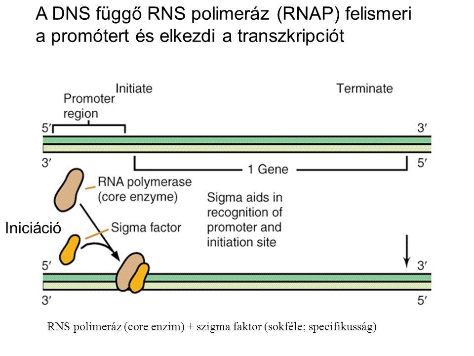 A DNS függő RNS polimeráz (RNAP) felismeri a promótert és elkezdi a transzkripciót RNS polimeráz (core enzim) + szigma faktor (sokféle; specifikusság)