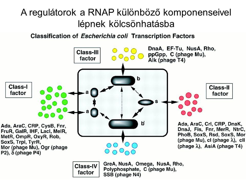 A regulátorok a RNAP különböző komponenseivel lépnek kölcsönhatásba