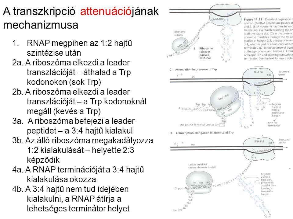 A transzkripció attenuációjának mechanizmusa 1.RNAP megpihen az 1:2 hajtű szintézise után 2a. A riboszóma elkezdi a leader transzlációját – áthalad a