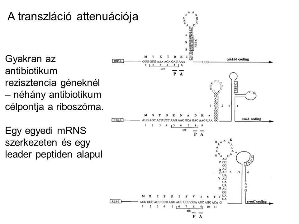A transzláció attenuációja Gyakran az antibiotikum rezisztencia géneknél – néhány antibiotikum célpontja a riboszóma. Egy egyedi mRNS szerkezeten és e