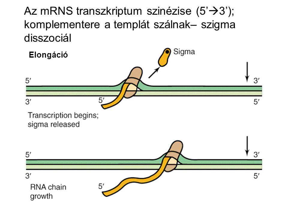Transzkripció INICIÁCIÓ - RNS polimeráz kötödése - DNS lokális kitekerése ELONGÁCIÓ - Komplementer bázispárosítás - foszfodiészter kötések kialakítása - 5' → 3' transzlokáció TERMINÁCIÓ - nem specifikus és rosszul meghatározott