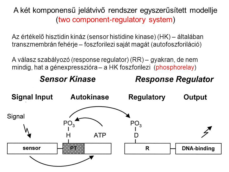 A két komponensű jelátvivő rendszer egyszerűsített modellje (two component-regulatory system) Az értékelő hisztidin kináz (sensor histidine kinase) (H