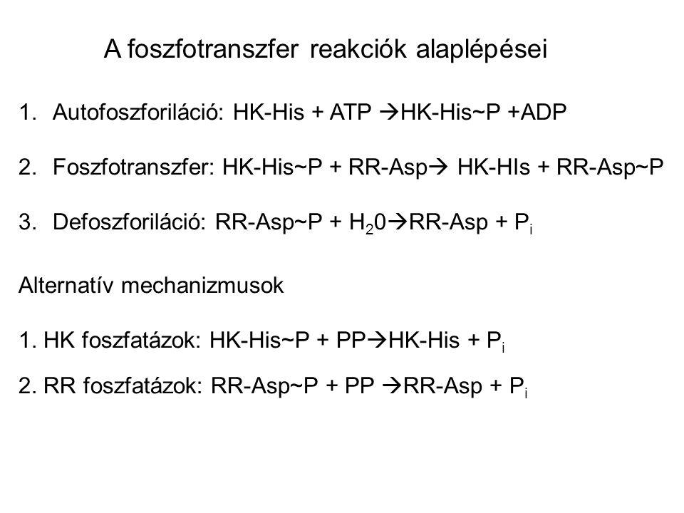 A foszfotranszfer reakciók alaplépései 1.Autofoszforiláció: HK-His + ATP  HK-His~P +ADP 2.Foszfotranszfer: HK-His~P + RR-Asp  HK-HIs + RR-Asp~P 3.De
