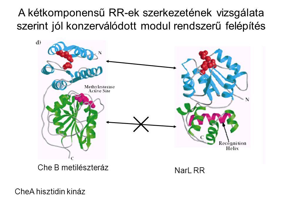 CheA hisztidin kináz NarL RR A kétkomponensű RR-ek szerkezetének vizsgálata szerint jól konzerválódott modul rendszerű felépítés Che B metilészteráz