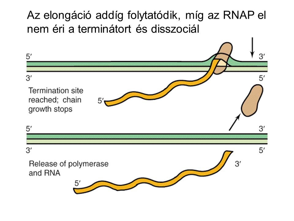 A transzkripció attenuációjának mechanizmusa 1.RNAP megpihen az 1:2 hajtű szintézise után 2a.