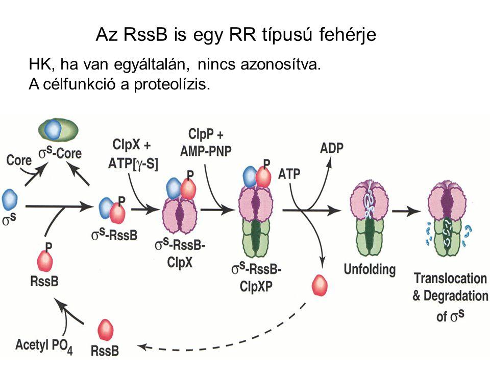 Az RssB is egy RR típusú fehérje HK, ha van egyáltalán, nincs azonosítva. A célfunkció a proteolízis.