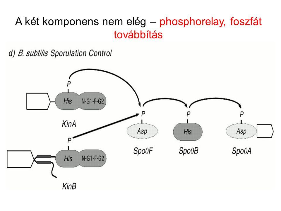 A két komponens nem elég – phosphorelay, foszfát továbbítás