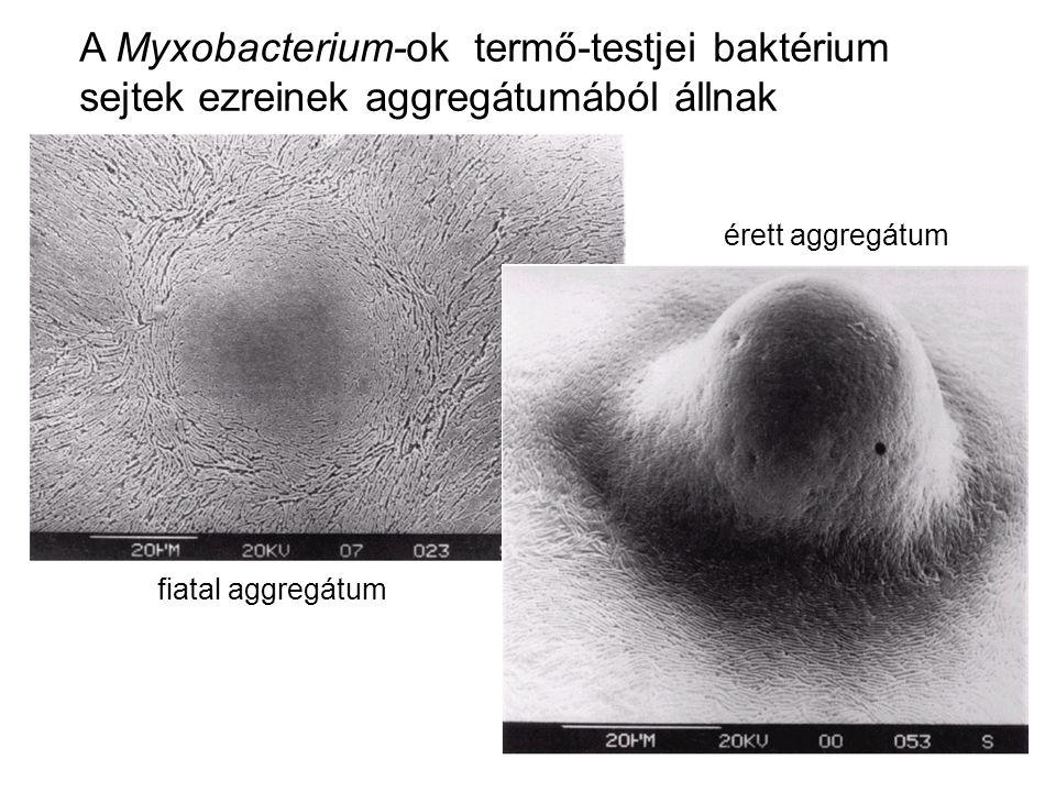 A Myxobacterium-ok termő-testjei baktérium sejtek ezreinek aggregátumából állnak fiatal aggregátum érett aggregátum