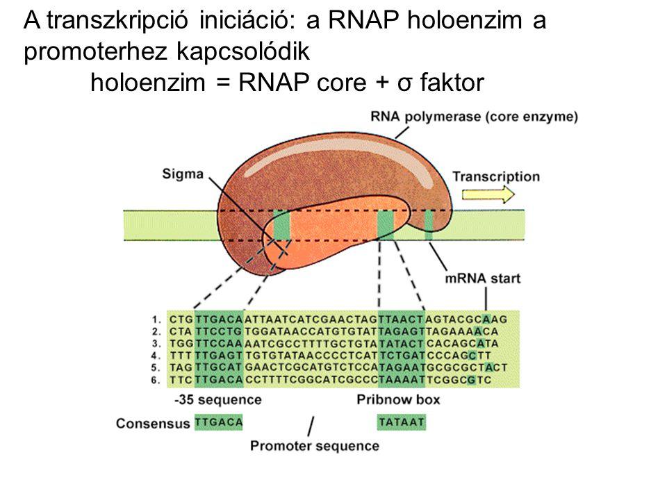 Upstream elemek, enhancerek, silencerek Tipikus pol II: Eukarióta promóterek: