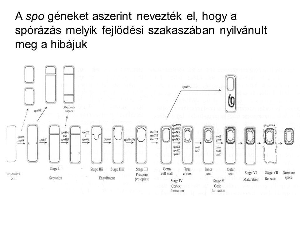 A spo géneket aszerint nevezték el, hogy a spórázás melyik fejlődési szakaszában nyilvánult meg a hibájuk