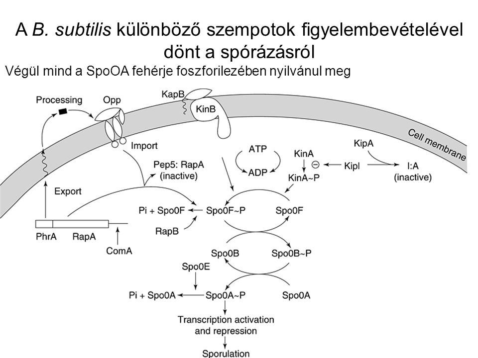 A B. subtilis különböző szempotok figyelembevételével dönt a spórázásról Végül mind a SpoOA fehérje foszforilezében nyilvánul meg