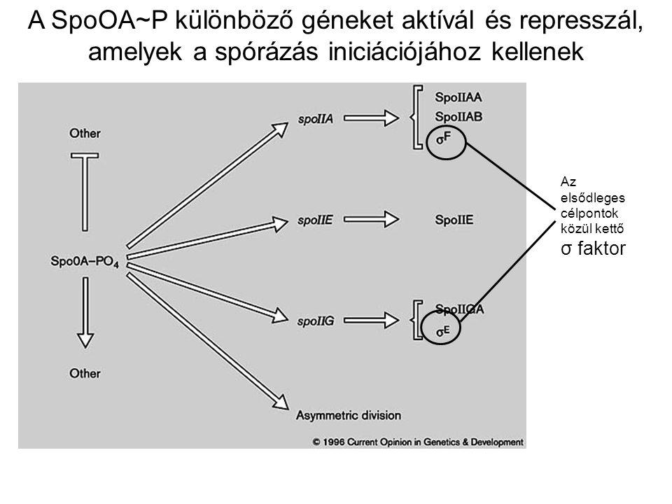 A SpoOA~P különböző géneket aktívál és represszál, amelyek a spórázás iniciációjához kellenek Az elsődleges célpontok közül kettő σ faktor