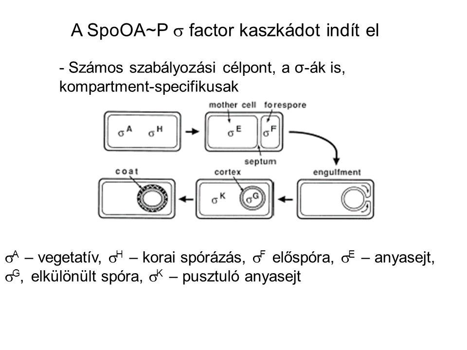 A SpoOA~P  factor kaszkádot indít el - Számos szabályozási célpont, a σ-ák is, kompartment-specifikusak  A – vegetatív,  H – korai spórázás,  F el