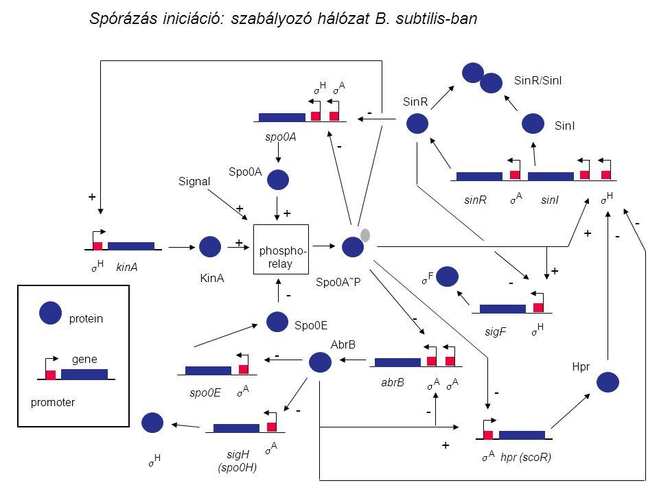 Spórázás iniciáció: szabályozó hálózat B. subtilis-ban