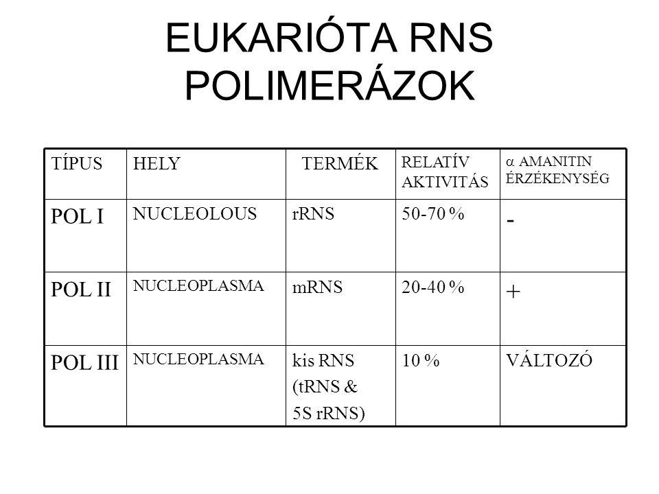 EUKARIÓTA RNS POLIMERÁZOK VÁLTOZÓ10 %kis RNS (tRNS & 5S rRNS) NUCLEOPLASMA POL III + 20-40 %mRNS NUCLEOPLASMA POL II - 50-70 %rRNSNUCLEOLOUS POL I 