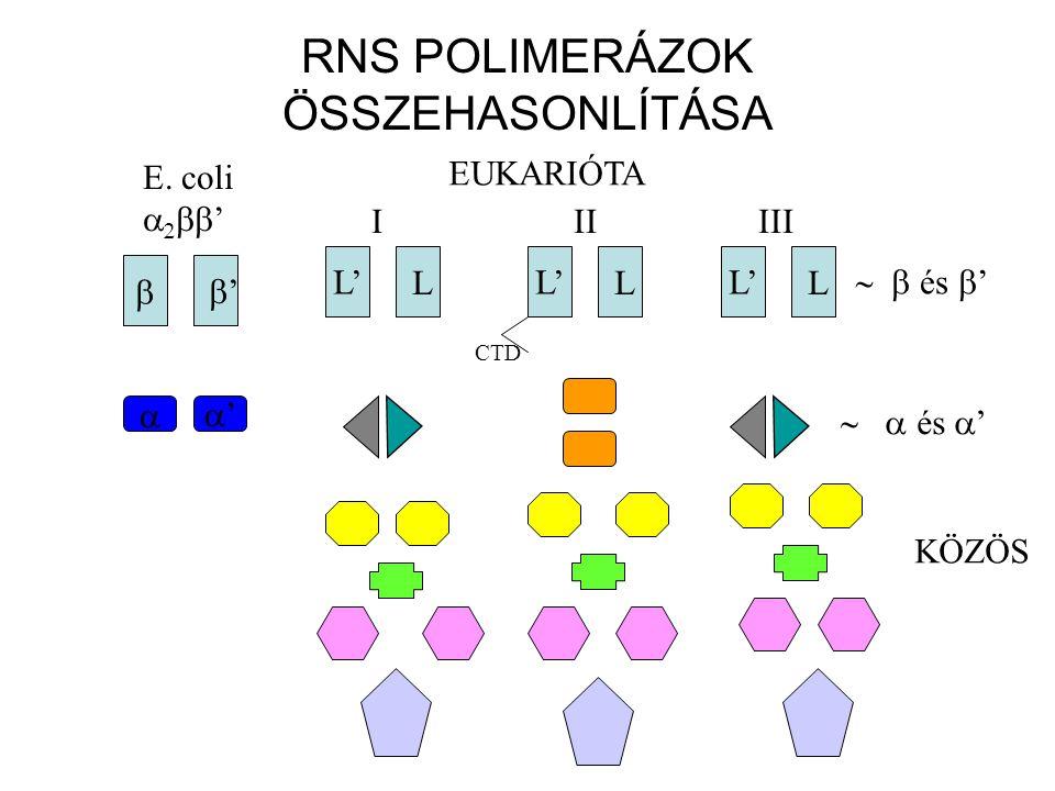 RNS POLIMERÁZOK ÖSSZEHASONLÍTÁSA  ' E. coli    ' L' LL LL LL IIIIII EUKARIÓTA  és  ' ''  és  ' KÖZÖS CTD