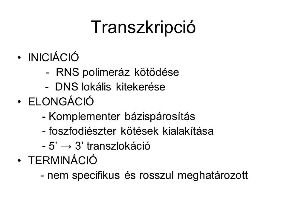 Transzkripció INICIÁCIÓ - RNS polimeráz kötödése - DNS lokális kitekerése ELONGÁCIÓ - Komplementer bázispárosítás - foszfodiészter kötések kialakítása