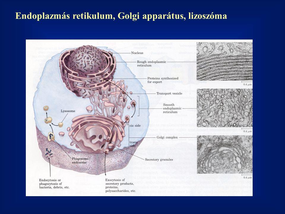 Endoplazmás retikulum, Golgi apparátus, lizoszóma
