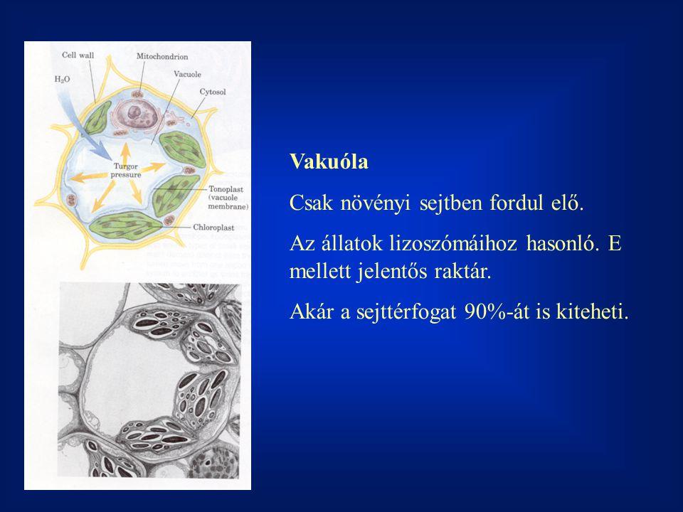 Vakuóla Csak növényi sejtben fordul elő.Az állatok lizoszómáihoz hasonló.