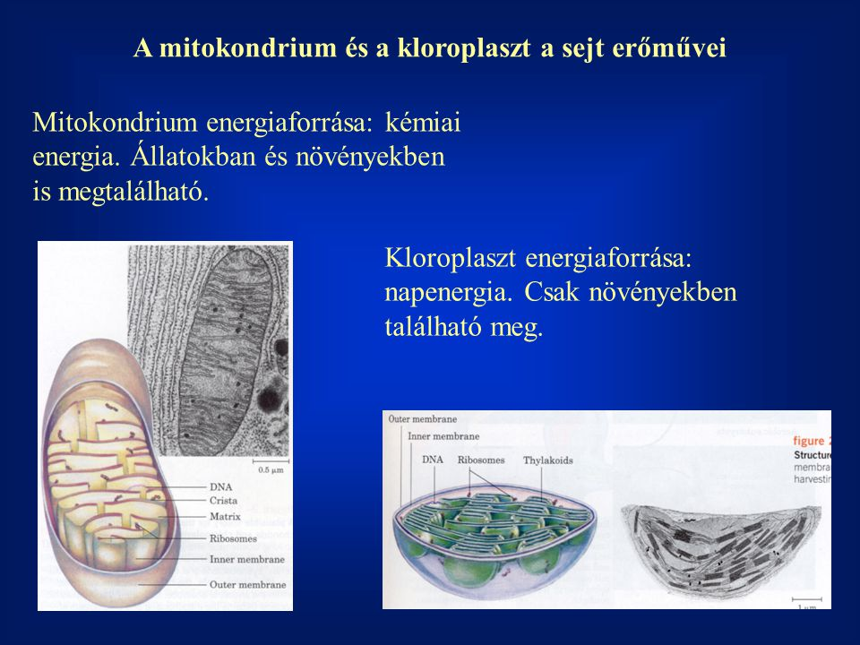 A mitokondrium és a kloroplaszt a sejt erőművei Mitokondrium energiaforrása: kémiai energia.