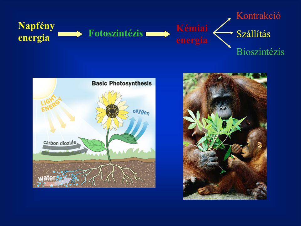 Napfény energia Fotoszintézis Kémiai energia Kontrakció Szállítás Bioszintézis