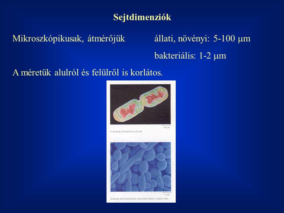 Sejtdimenziók Mikroszkópikusak, átmérőjük állati, növényi: 5-100  m bakteriális: 1-2  m A méretük alulról és felülről is korlátos.