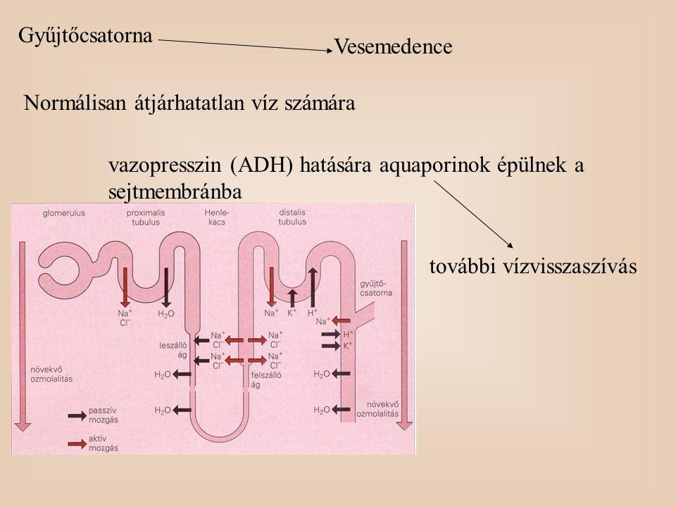 Gyűjtőcsatorna Vesemedence Normálisan átjárhatatlan víz számára vazopresszin (ADH) hatására aquaporinok épülnek a sejtmembránba további vízvisszaszívá