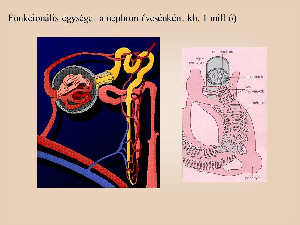Magas nyomású szűrő: - kapilláris endothelsejt - basalis membrán - nephron epithelsejt (podocyta) Glomerularis filtrátum: a plazma ultraszürlete Méret szerinti szelekció: -hemoglobin éppen átjut (64,5 kDa) - albumin éppen nem jut át (68 kDa) Gyakorlatilag az összes fehérje visszaszívódik Vizeletfehérje: < 150 mg/24 óra