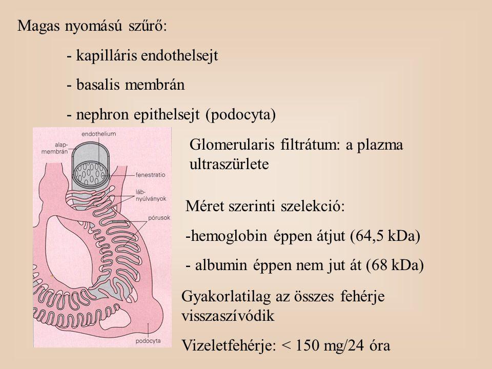 Magas nyomású szűrő: - kapilláris endothelsejt - basalis membrán - nephron epithelsejt (podocyta) Glomerularis filtrátum: a plazma ultraszürlete Méret