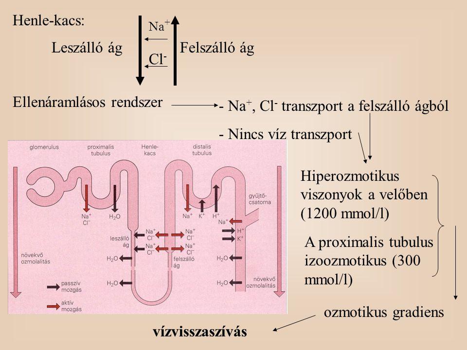 Henle-kacs: Hiperozmotikus viszonyok a velőben (1200 mmol/l) Leszálló ágFelszálló ág Ellenáramlásos rendszer Na + Cl - - Na +, Cl - transzport a felsz