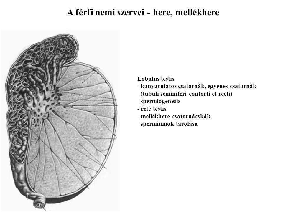 A férfi nemi szervei - here, mellékhere Lobulus testis - kanyarulatos csatornák, egyenes csatornák (tubuli seminiferi contorti et recti) spermiogenesi