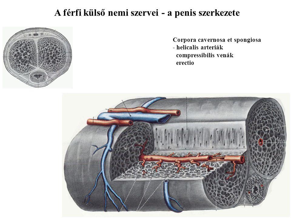A férfi külső nemi szervei - a penis szerkezete Corpora cavernosa et spongiosa - helicalis arteriák compressibilis venák erectio