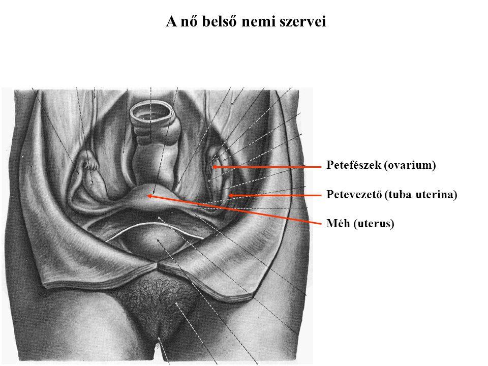 Petefészek (ovarium) Petevezető (tuba uterina) Méh (uterus)